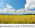 ท้องฟ้าสีฟ้าและทุ่งนาในฤดูใบไม้ร่วง 43040262