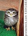 Coquinmehu owl 43041683