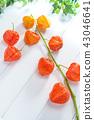 열매, 과실, 꽈리 43046641