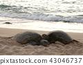 오아후 섬의 해변의 바다 거북. 2018/4/22 43046737