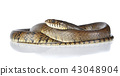 snake isolated on white background 43048904