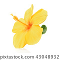 yellow hibiscus isolated on white background 43048932