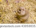 Cute prairie dog eating dry grass 43050035