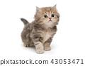 Shaggy, grey British kitten 43053471