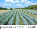 見沼 논 푸른 하늘과 부추 밭 43058401