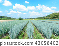 Menuma米領域藍天和蔥領域 43058402