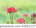 Clary amaryllis 43062137