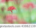 Clary amaryllis 43062139