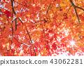 秋天 秋 楓樹 43062281