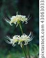 สีขาว Higanbana ดอกไม้กลับดำ 43063033