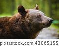 forest, bear, wildlife 43065155