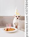 Little white dog celebrating his birthday with his owner 43070804