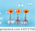 Orange daisy flower in a vase on trendy background. 43072708