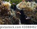 ocellaris clownfish clown anemonefish  43088462