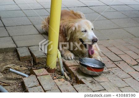 黃金獵犬 43088590