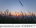 보리밭, 청보리밭, 청보리 43089477