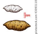 Yam vegetable tuber vector sketch 43093110