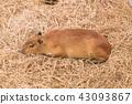 Giant Rat or Capybara 43093867