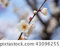 ume, bloom, blossom 43096255