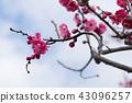 ume, bloom, blossom 43096257