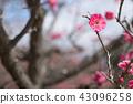 ume, bloom, blossom 43096258