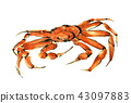 The snow crab Echizen to the pine needle 43097883