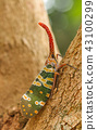 Fulgorid Planthoppers - Lanternflies. 43100299
