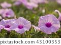 Morning glory flowers. 43100353
