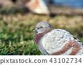 Pigeon bird in the park, Bird sitting on grass. 43102734