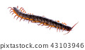 centipede isolated on white background 43103946