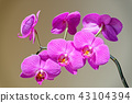 Orchid branch on gray brown background 43104394