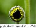Gerbera Daisies flower bud  43106258