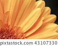 macro shot blooming Gerbera Daisies petal 43107330