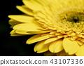 macro shot blooming Gerbera Daisies petal 43107336