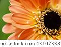 macro shot blooming Gerbera Daisies petal 43107338