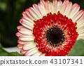 macro shot blooming Gerbera Daisies petal 43107341
