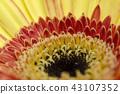 macro shot blooming Gerbera Daisies petal 43107352