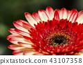 macro shot blooming Gerbera Daisies petal 43107358