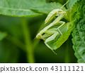 螳螂 43111121