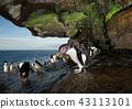 Southern rockhopper penguin taking shower 43113101