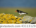 oystercatcher, bird, shorebird 43113129