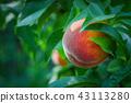 ลูกพีช,ผลไม้,กิ่งไม้ 43113280