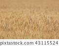 Hokkaido wheat field Furano Biei 43115524