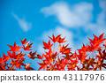 푸른 하늘에 빛나는 단풍 나무 잎 붉은 잎 43117976