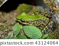 斯文豪氏赤蛙 Swinhoe's frog (Odorrana swinhoana)  43124064