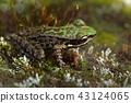 斯文豪氏赤蛙 Swinhoe's frog (Odorrana swinhoana)  43124065