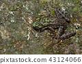 斯文豪氏赤蛙 Swinhoe's frog (Odorrana swinhoana)  43124066
