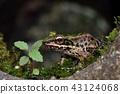 斯文豪氏赤蛙 Swinhoe's frog (Odorrana swinhoana)  43124068