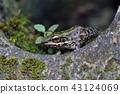 斯文豪氏赤蛙 Swinhoe's frog (Odorrana swinhoana)  43124069