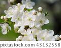 Apricot tree blossoms 43132558